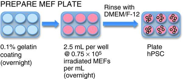 feeder dependent mef culture protocol collagenase