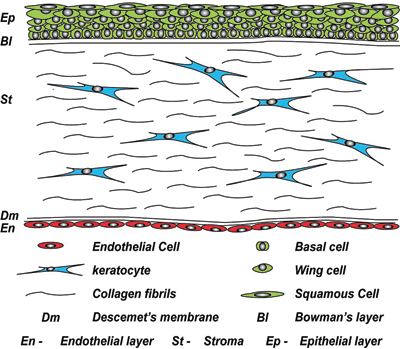Limbal Epithelial Stem Cells Of The Cornea Stembook