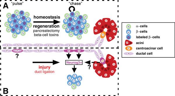 Pancreatic Stem Cells (Stem Cell Biology and Regenerative Medicine)