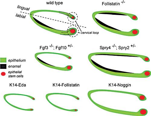 tooth organogenesis and regeneration stembook