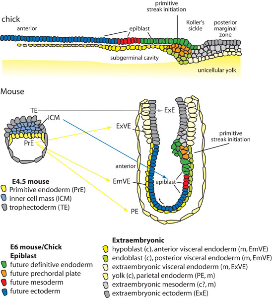 Endoderm specification | StemBook